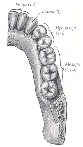 Порядок прорезывания зубов у
