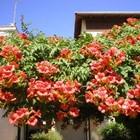 Шикарный крупноцветковый кампсис, гибрид