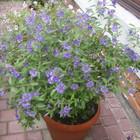Паслен Рантонетти завораживающее цветение, с мая по заморозки
