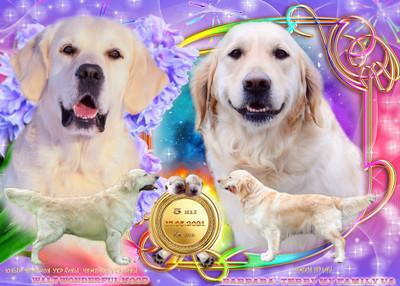Видео) идеальная собака для всей семьи, щенки золотистого голден ретривера от чемпионов. фото №1