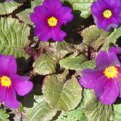 Примула фиолетовая
