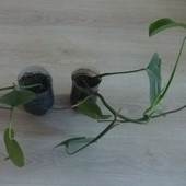 Монстера Борзига. Комнатное растение. Высота 32 и 47 см