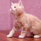 Шотландский персиковый мальчик