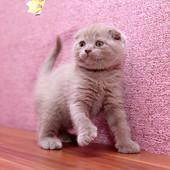 Шотландский скотиш фолд (лиловая девочка)