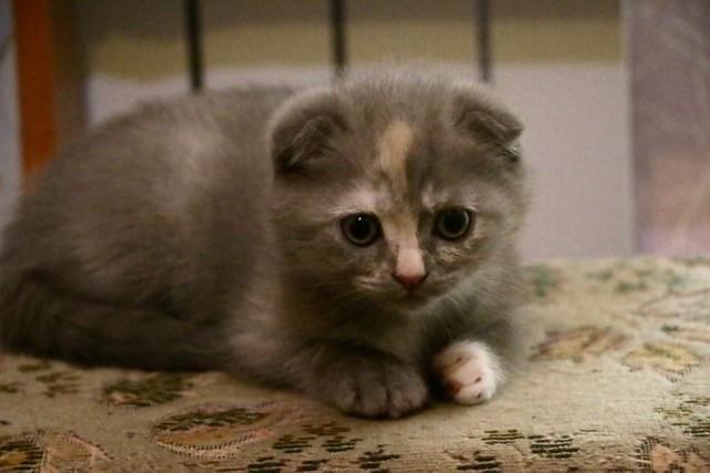 Срочно продам котенка шотландской вислоухой фото №1