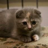 Срочно продам котенка шотландской вислоухой