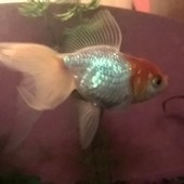 Золотая рыбка вуалехвост