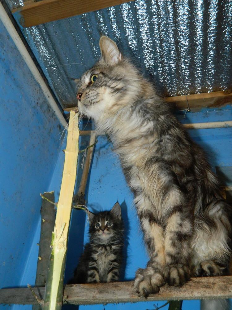Взрослый кот мейн кун фото №1