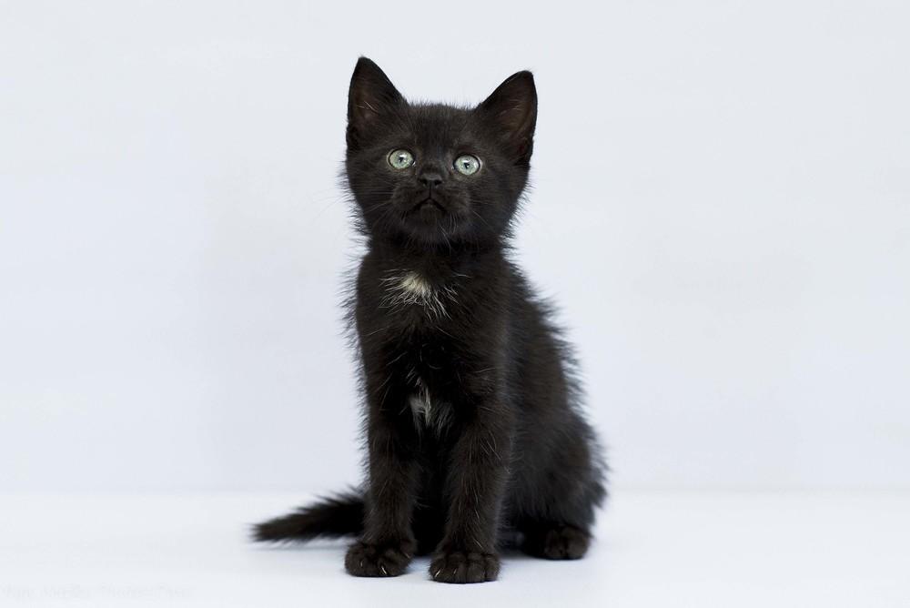 Отдам в хорошие руки котенка девочку юсси фото №1